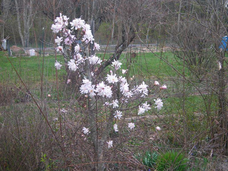 Star Magnolia 0323