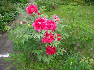 Tree Peony April 29