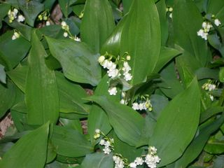 Lilies of the Valley 2 April 29