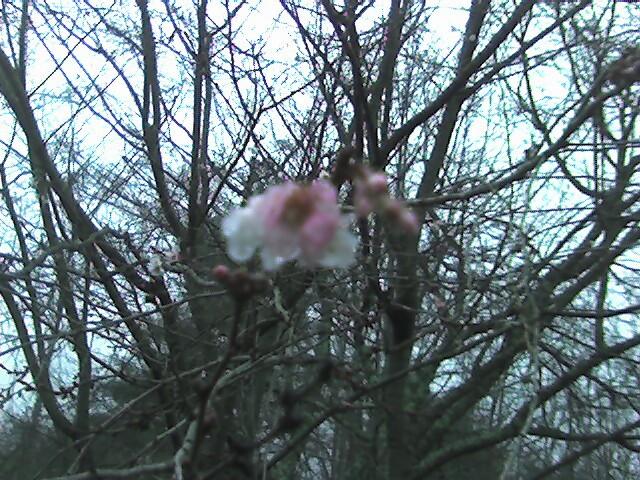 Cherry_blossom_dec_17