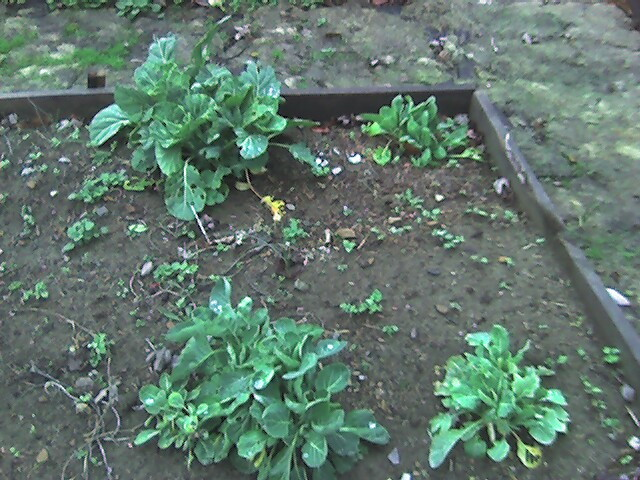Volunteer_brussels_sprouts