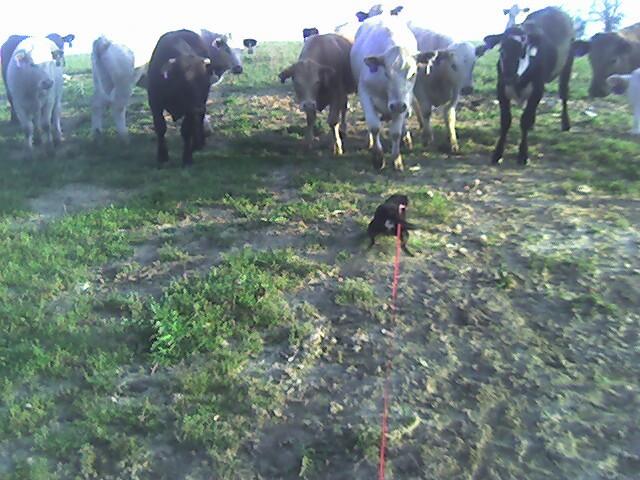 Cows_mr_bud