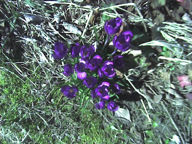 Crocus_back_yard